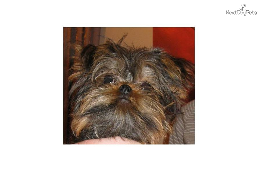 Meet Haley A Cute Brussels Griffon Puppy For Sale For 900