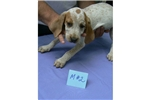 Picture of Male Redtick Coonhound Pup