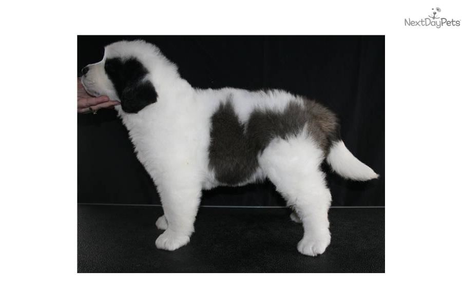 St Bernard Dogs For Sale Victoria
