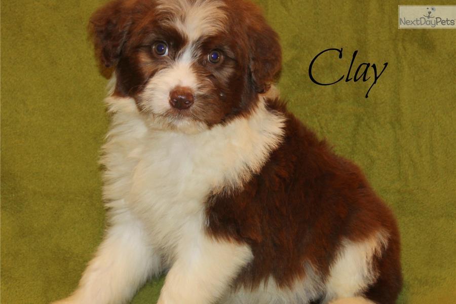 Aussiedoodle puppy for sale near Dallas / Fort Worth, Texas  6f9fc2f9-a1c1