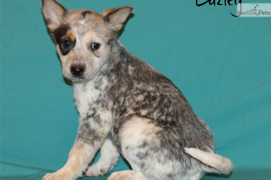 Australian Cattle Dog Puppies For Sale Dallas Tx