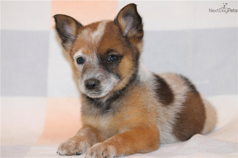Red heeler puppies texas heelers australian cattle dogs picture