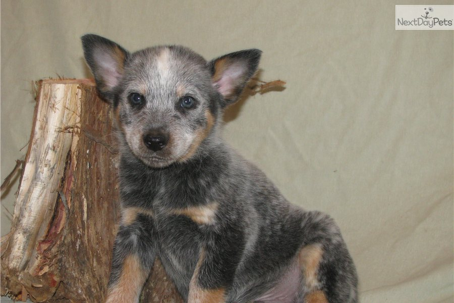 how to train a blue heeler to herd cattle