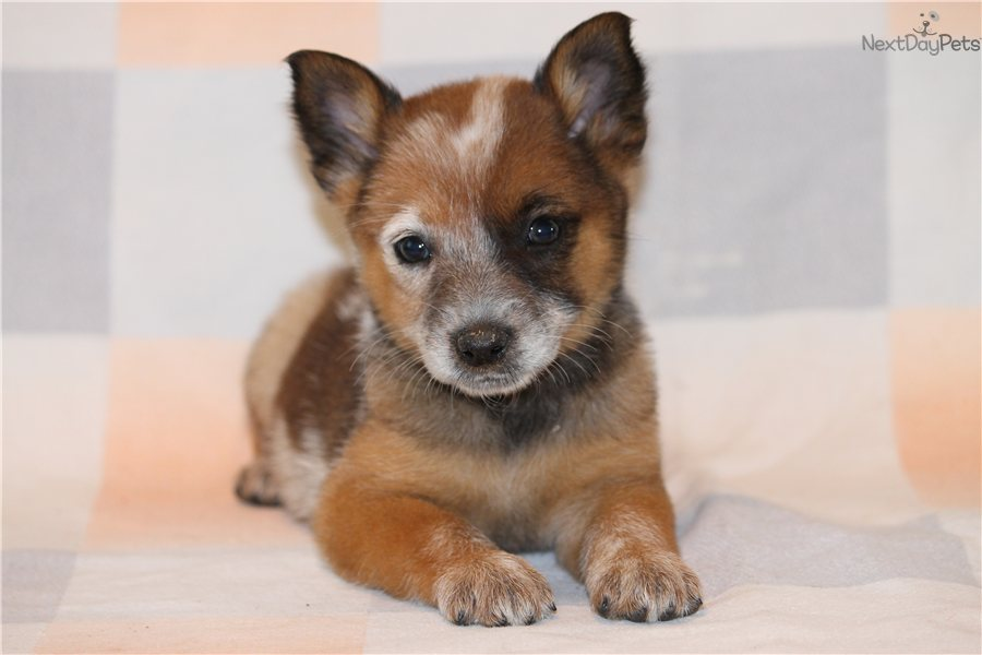 Red Australian Cattle Dog Puppies For Sale Texas