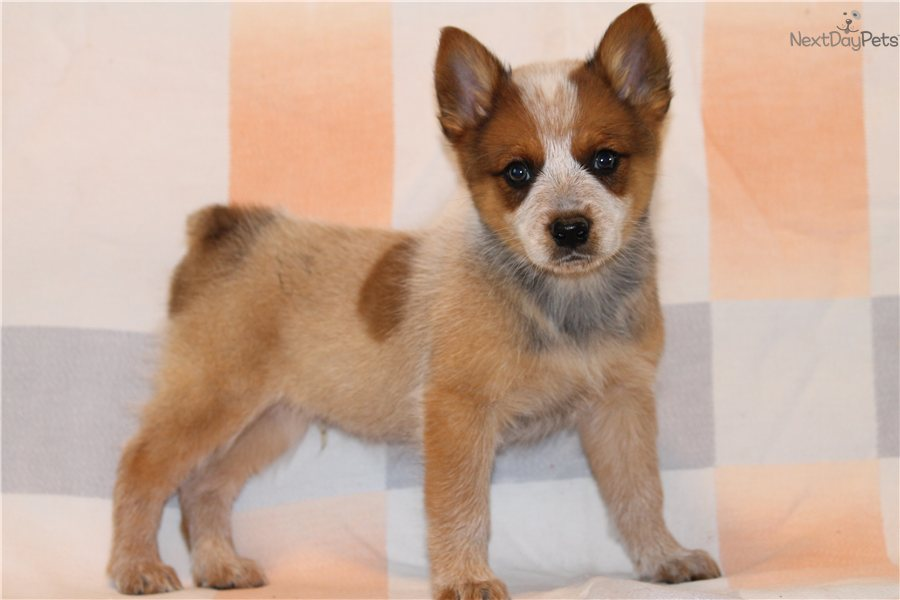 Australian Cattle Dog/Blue Heeler puppy for sale near ...
