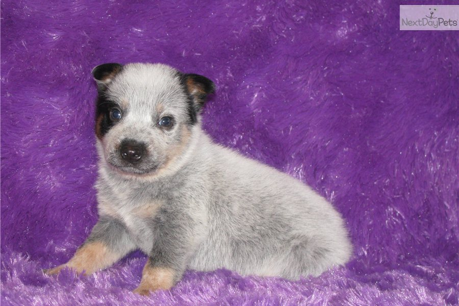 ... For Sale Is A Female Male Australian Cattle Dog | Dog Breeds Picture