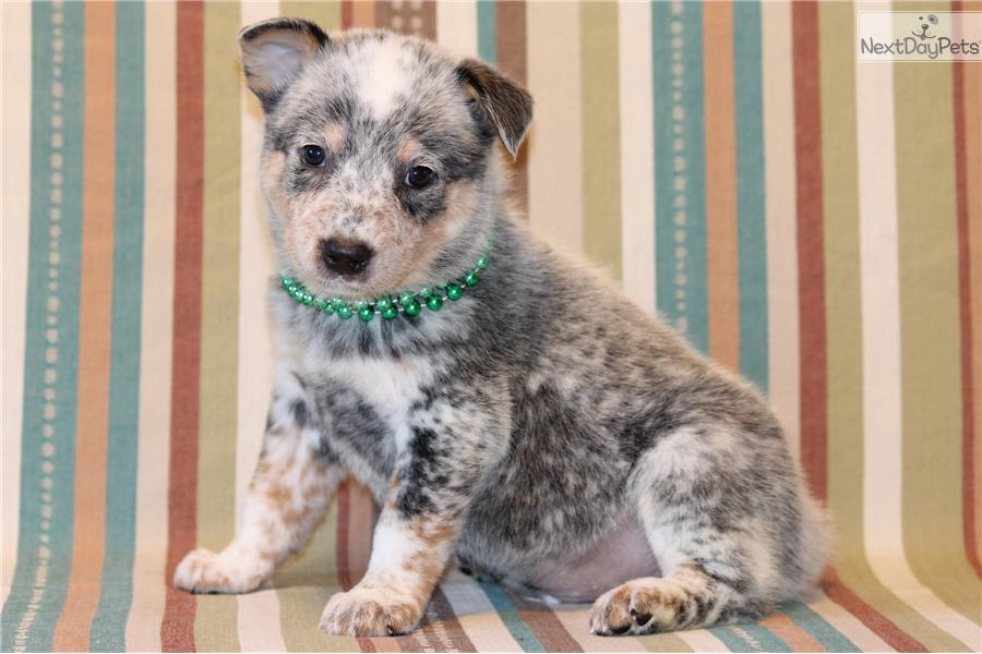 Australian Cattle Dog Puppies For Sale Dallas Tx