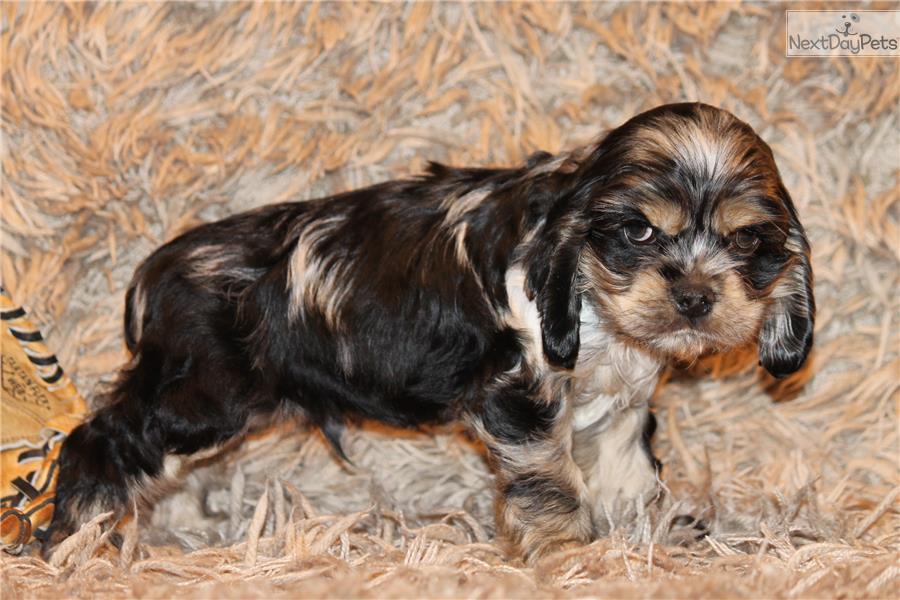 cocker spaniel puppy for sale near dallas    fort worth