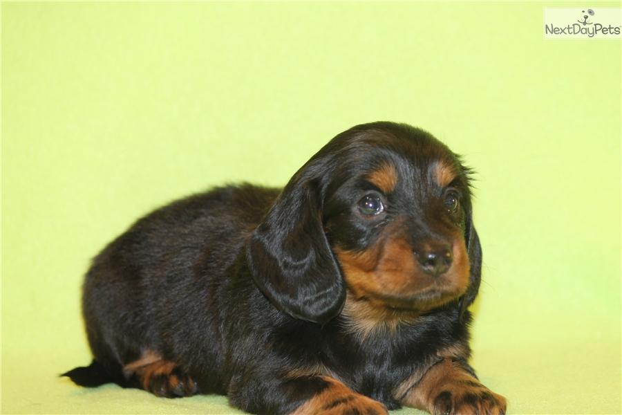 Dachshund puppy for sale dallas tx