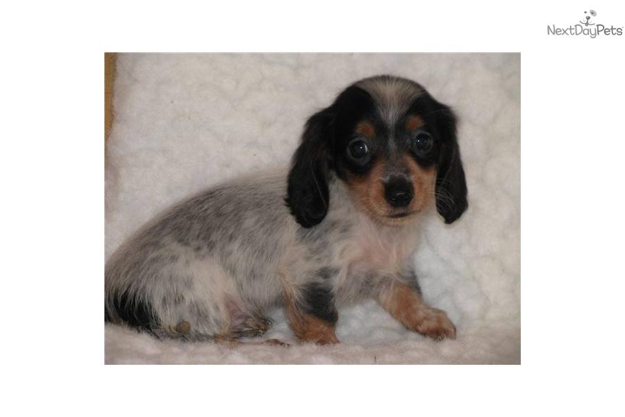 mini-dachshund-long-hair-piebalddog-dachshund-mini-puppy-564a7ddf-8180 ...