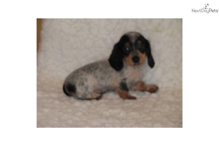 mini-dachshund-long-hair-piebalddog-dachshund-mini-puppy-b5588910-5a92 ...