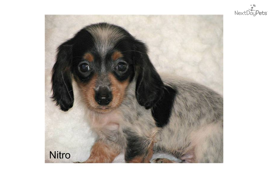mini-dachshund-long-hair-piebalddog-dachshund-mini-puppy-e89e3c6b-9091 ...