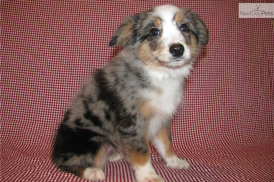 Miniature australian shepherd puppy for sale near dallas fort worth