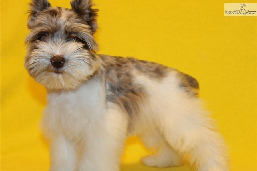 ... Pictures teacup schnauzer puppies for sale teacup toy schnauzer puppy