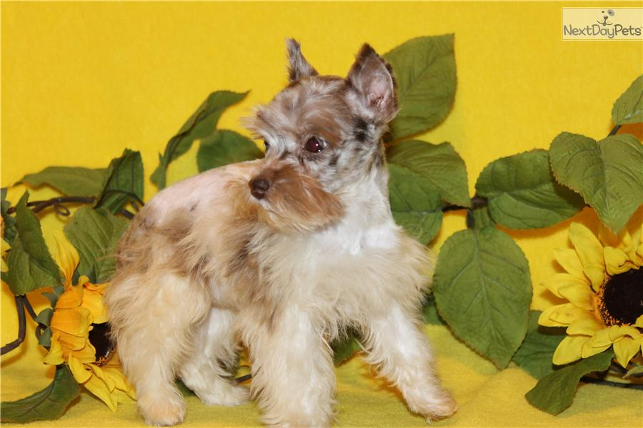 Dog Breeds Miniature Schnauzer Miniature Schnauzer Royal Canin | Dog ...