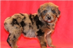 Picture of Sapphire - Female Aussiedoodle