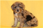 Picture of Scarlet - Female Aussiedoodle
