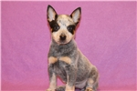 Picture of Xantippe Female Australian Cattle Dog