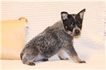 Picture of Xanthe Female Australian Cattle Dog