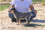 Picture of Blue Heeler Female - Bunny