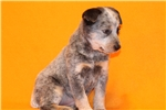 Picture of Xaverie Female Australian Cattle Dog