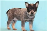 Picture of Xerxes male Australian Cattle Dog