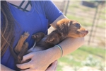 Picture of Presley - Mini Dachshund Male in Texas