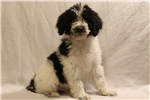 Picture of Maisey Female Standard Poodle Black parti