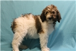 Picture of Boone Male Standard Poodle Sable parti