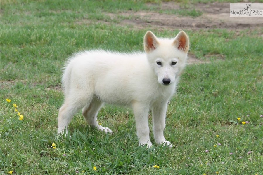 Zuni Wolf Hybrid Puppy For Sale Mackenzie Valley And Timber Wolf ...
