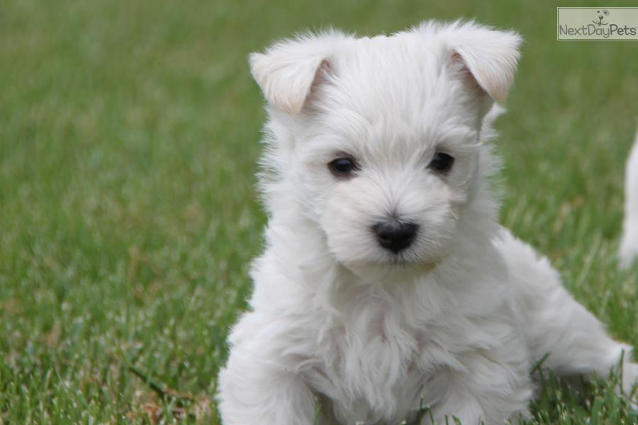 Puppies For Sale West Highland
