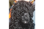 Picture of Awesome AKC Standard Poodle Puppies