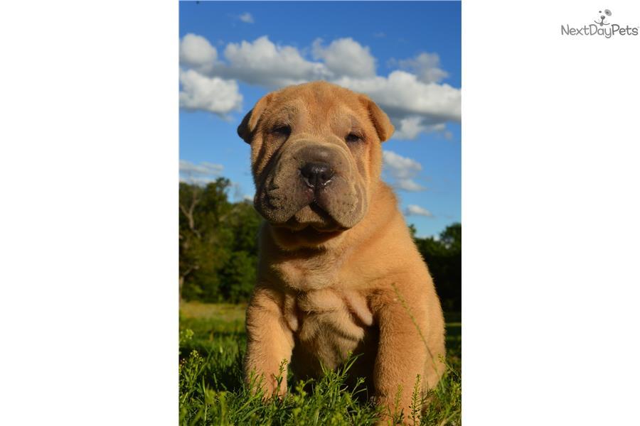 Chinese Shar Pei Puppy For Sale Near Oklahoma City Oklahoma 0e03141a 0521
