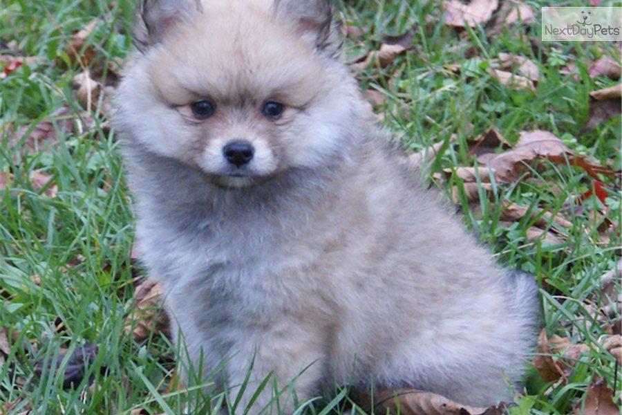 Pomeranian for sale for $400, near Harrisburg ...