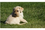 Picture of GORGEOUS English Yellow Lab - Buttercup