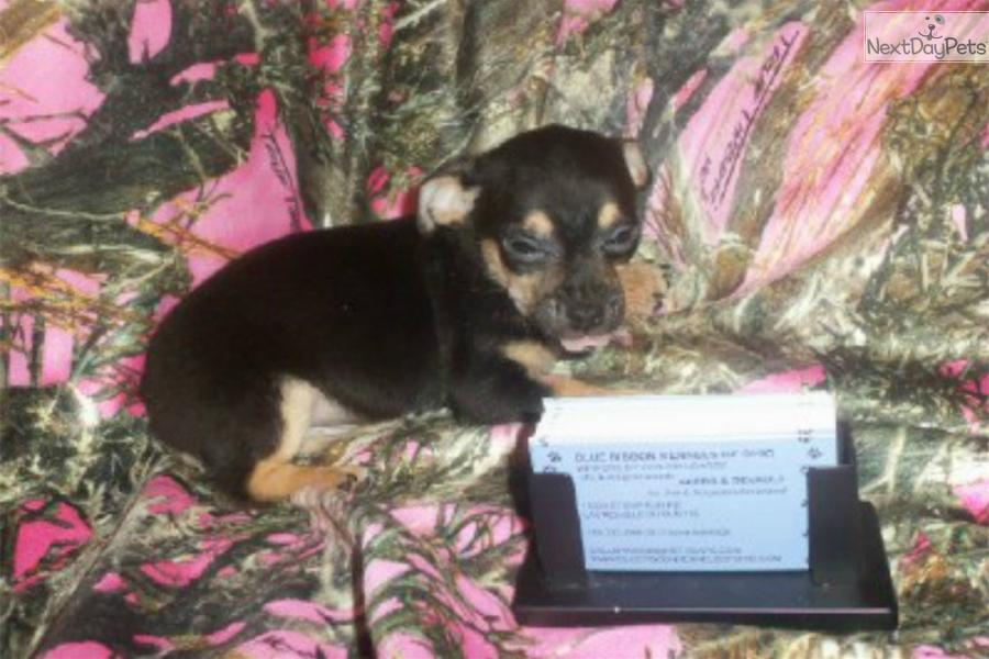 chihuahua black personals Press to search craigslist save search favorite this post apr 3 black chihuahua favorite this post mar 24 black and brown guinea pig map hide this posting.