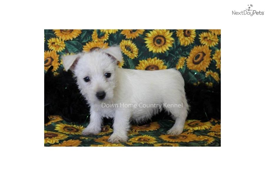 Akc male westie puppydog west highland white terrier westie puppy