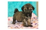 Picture of a Tibetan Terrier Puppy
