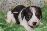 Picture of Pebbles- Mini Dachshund Puppy-Ready March 27