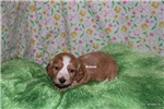Picture of Rocky- Mini Dachshund Puppy-Ready March 27