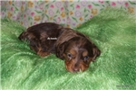 Picture of Wags- Mini Dachshund Puppy-Ready March 27