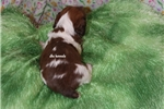 Picture of Sparkles- Mini Dachshund Puppy-Ready March 27