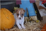 Picture of TOBY-REG APRICOT MALE- TOY SIZE- READY 10-25-17