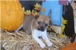 Picture of MILLIE- FEMALE TOY SIZE RT- UKCI REG- READY 10-25