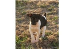 Picture of Tazz-male MINI Rat Terrier- Ready now!