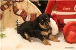 Picture of PUDDIN- FEMALE RT-TYPE A TOY-READY 12-23-16!