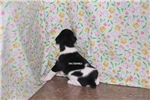 Picture of Pepper-Female Rat Terrier Puppy- Ready March 27