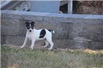 Picture of Ryker-male Toy Rat terrier- Ready 7-19-17