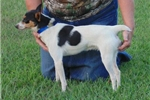 Picture of Echo- male Rat Terrier- Ready NOW!