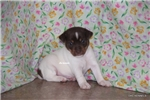 Picture of Nemo-Male Rat Terrier Puppy- Ready March 27